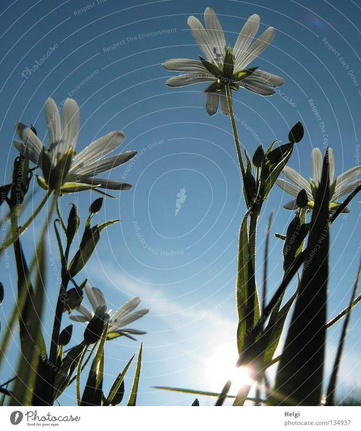 Frühlingsblümchen Natur Himmel weiß Sonne Blume grün blau Pflanze Wolken Lampe Blüte Gras Frühling Wege & Pfade Beleuchtung Feld