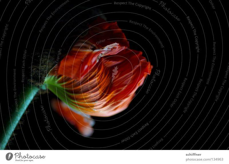 Dark Papaver IV schön Blume Pflanze rot dunkel Blüte zart Blühend Mohn Rauschmittel fließen schwer Blütenblatt Klatschmohn