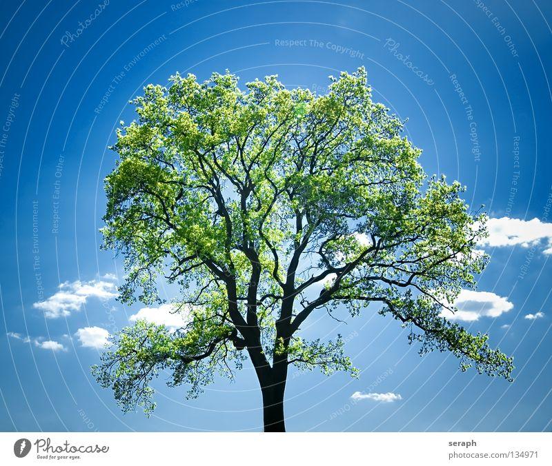 Grüne Lunge Himmel Natur Pflanze Sommer Baum Einsamkeit Blatt Wolken Freiheit Stimmung Kraft Idylle einzeln Ast Baumstamm
