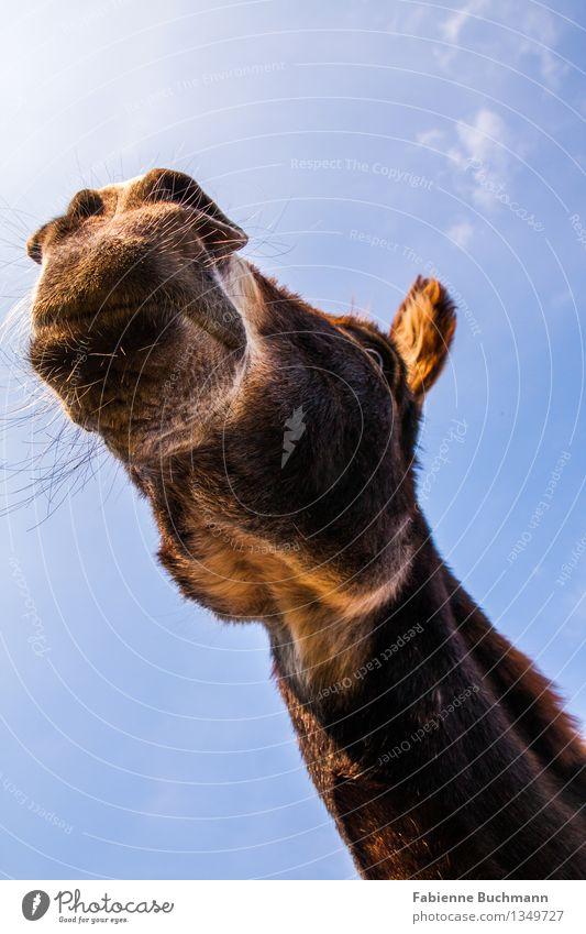 Ins Blaue hinein Himmel blau weiß Tier Auge braun beobachten erleuchten Fell Wachsamkeit brünett Tiergesicht Hals Maul Kiefer Esel