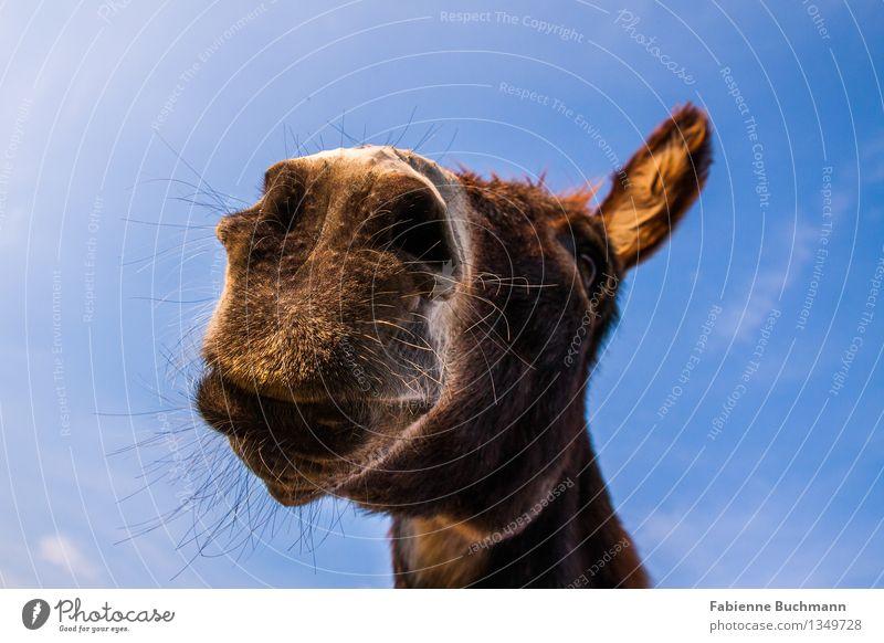 Mir doch Schnauze Himmel Tier Tiergesicht Fell Esel Eselsohr Maul Nüstern Kopf Auge Hals weich 1 blau braun weiß Unpaarhufer Wachsamkeit beobachten brünett klug