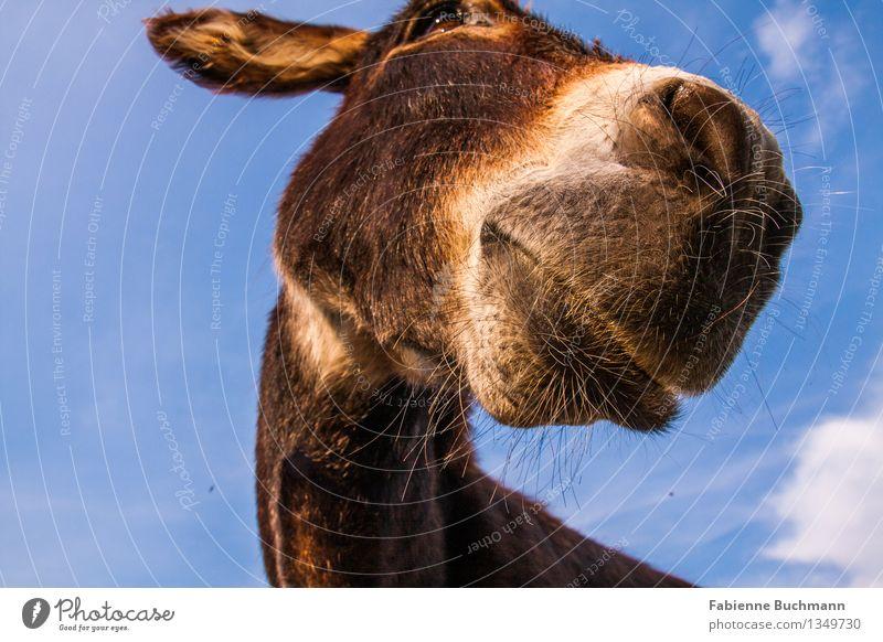 Eselrundblick Himmel Schönes Wetter Tier Tiergesicht Fell Maul Nüstern Eselsohr Kopf Hals 1 blau braun weiß Froschperspektive Wachsamkeit Blick Interesse