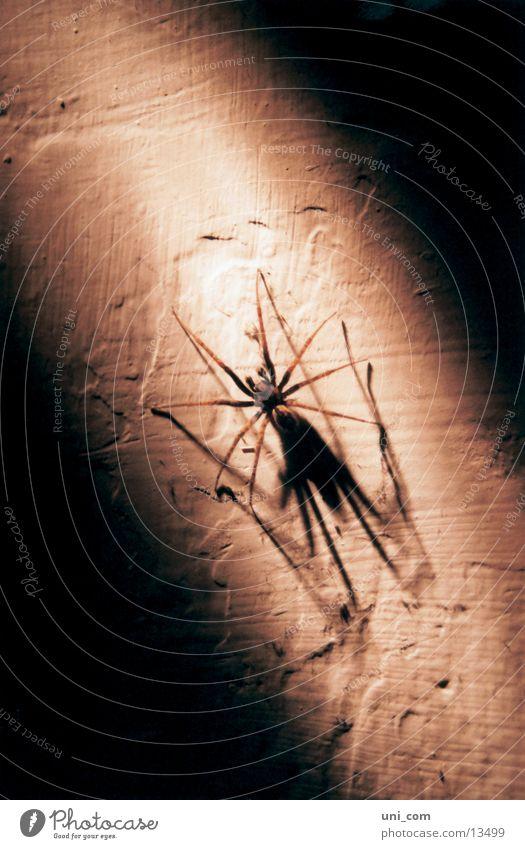 Spinne(r) Wand Verkehr Ekel krabbeln Keller Lichtstrahl