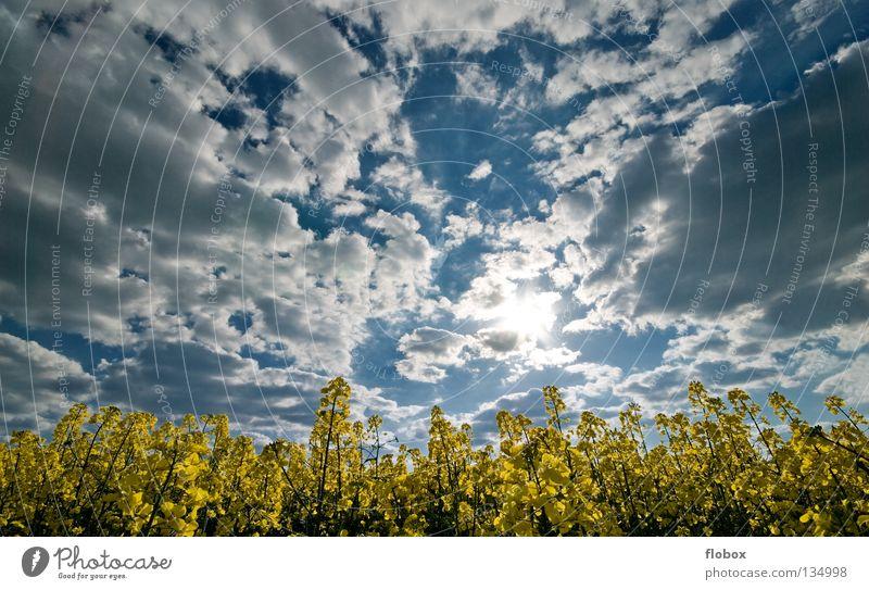 Raps, Raps, Raps, Raps, Raps... Rapsfeld Rapsanbau Wolkenhimmel Wolkenformation Wolkenfetzen Wolkenfeld Ackerbau Menschenleer Gegenlicht Sonnenlicht Landschaft