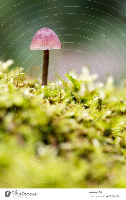 Schönling II Natur Herbst Wald klein nah braun gelb grün rosa Pilz Pilzhut winzig Makroaufnahme Hochformat Waldboden Moos Moosteppich ungenießbar Farbfoto