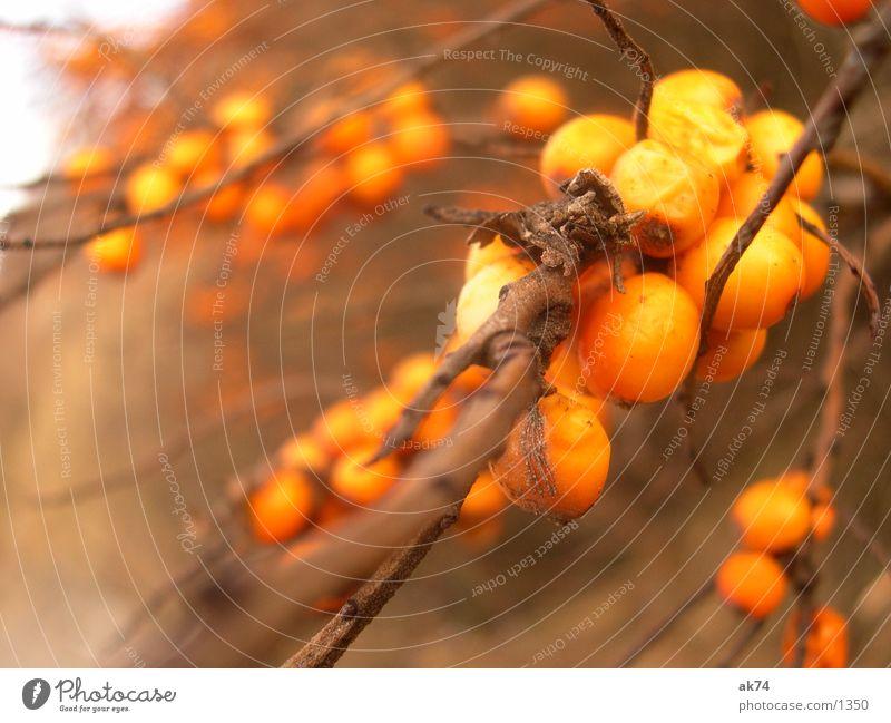 Der Sandodrn am Strand von Hiddensee Sträucher braun Herbst orange Frucht Makroaufnahme Zweig Ast Sanddorn