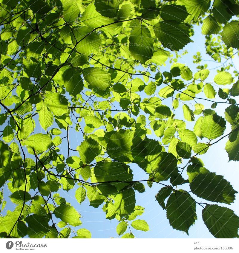 Leafs on Sky Baum grün blau Sommer Blatt Frühling Wärme Physik Ast Jahreszeiten Schönes Wetter Zweig saftig himmelblau Laubbaum verzweigt