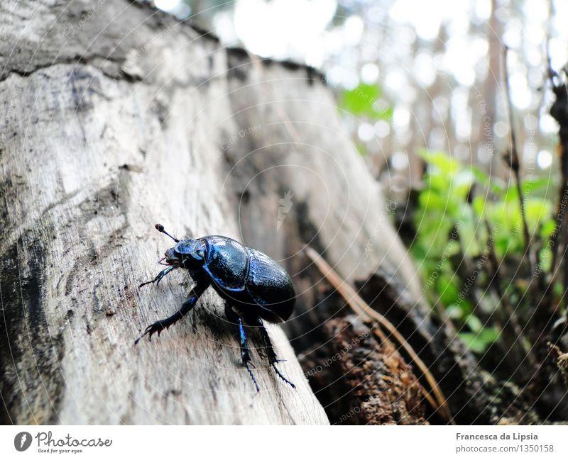 Mistkäfer Herbst Baum Wald Wildtier Käfer 1 Tier Holz entdecken glänzend krabbeln leuchten Ekel klein niedlich blau braun grün Farbe Natur Umwelt Umweltschutz