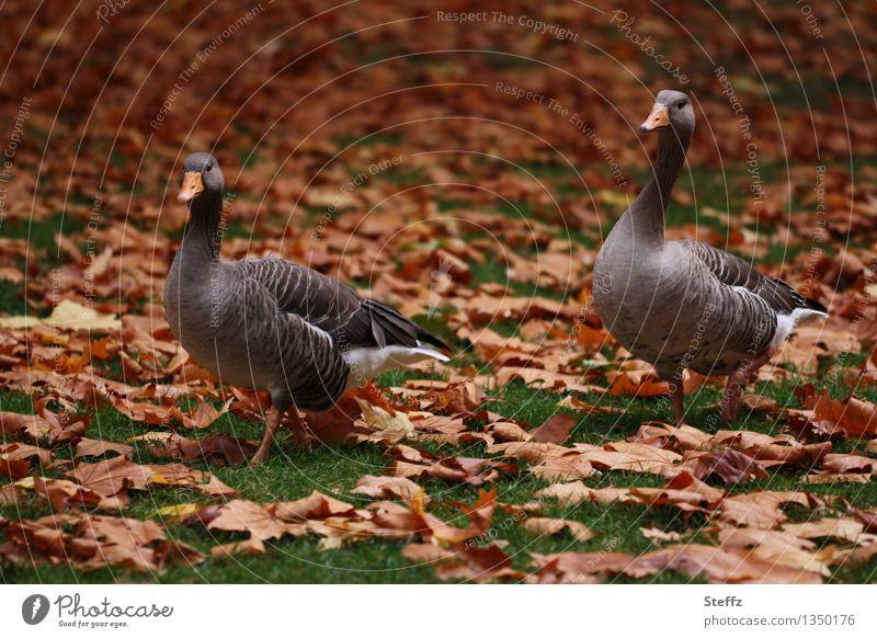 zwei Herbstgänse im Herbstpark Gänse Wildgänse Tierpaar zwei zusammen Novemberstimmung Novemberbild Novemberlicht Herbstlaub Herbstfärbung Herbstlicht