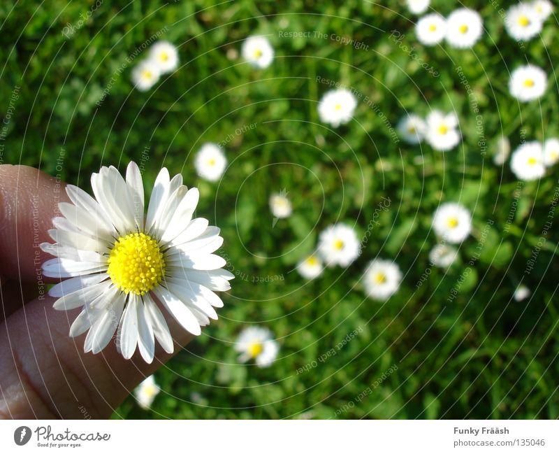 Es liebt mich, es liebt mich...nicht. Blume Hand Makroaufnahme Wunsch Volksglaube verzichten Gänseblümchen Gras grün zart zerbrechlich Blumenwiese Wiesenblume