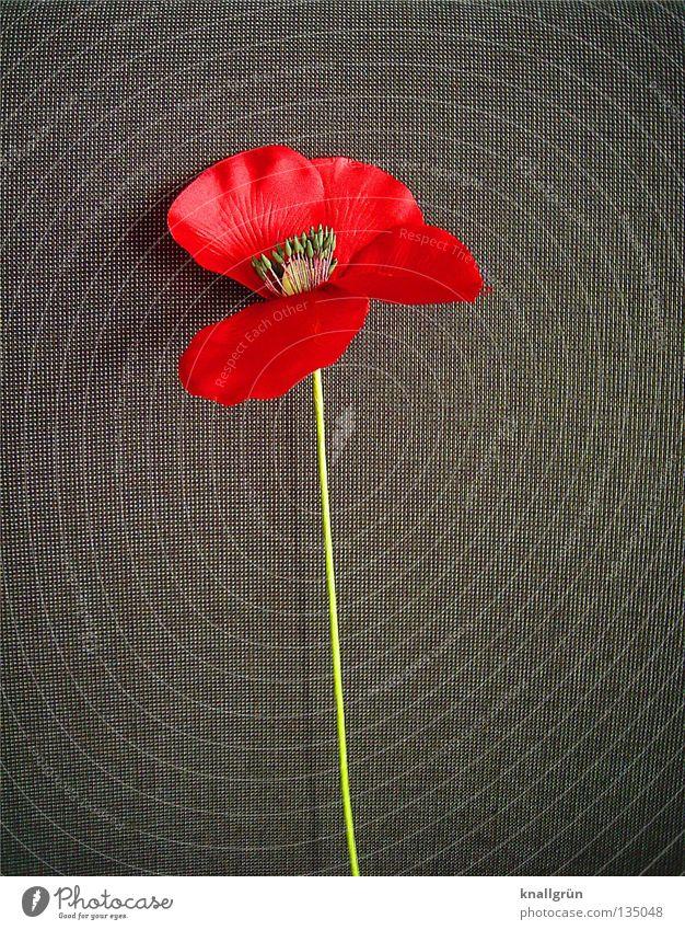 Klatschmohn Blume grün Pflanze rot grau Dekoration & Verzierung Stengel Mohn gestellt Stoffblüten