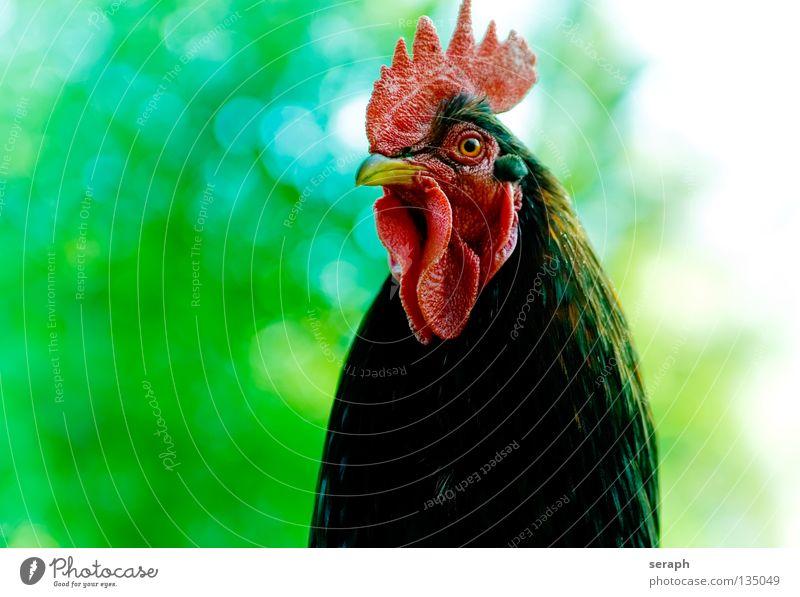 Big Boss rot Tier Auge Vogel Hintergrundbild maskulin Feder beobachten Bauernhof Wachsamkeit Baumkrone Ei Pfote Schnabel König Haushuhn