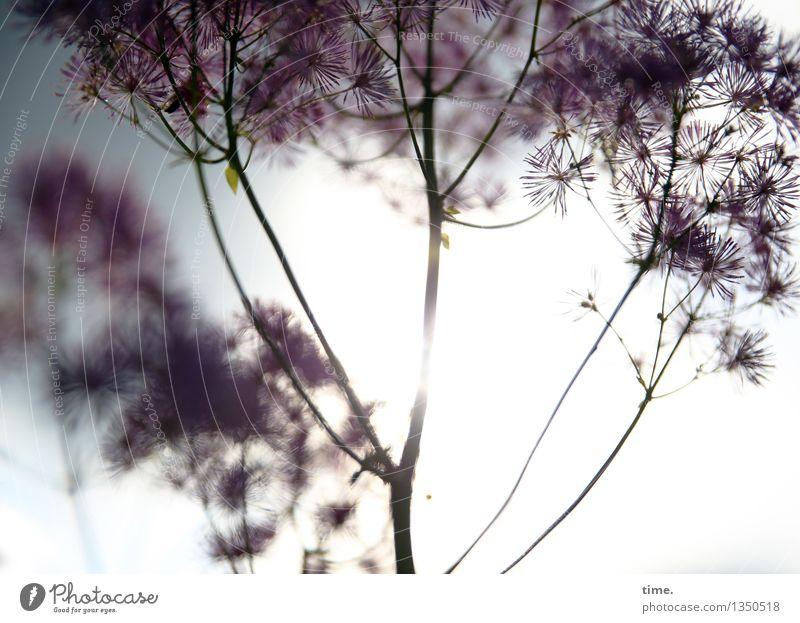 Wenn der Sommer geht ... Schönes Wetter Pflanze Blume Engelwurz Garten stehen leuchten nah natürlich schön Wärme Leben elegant Endzeitstimmung Erholung