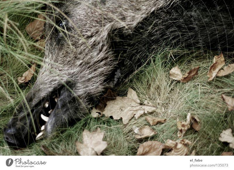 Schweine und Geizhälse Wildschwein Eber Keiler Gras Blatt Jäger schlafen ruhig Fell Fleisch Säugetier Gebiss hauer Tod Jagd usw usf Auge