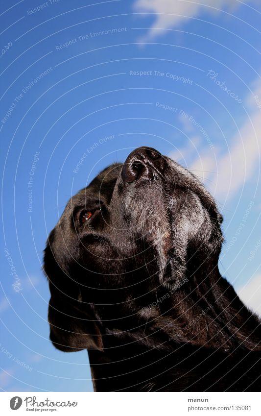 In der Ruhe liegt die Kraft Wolken himmelblau schwarz Hund Labrador Sommer erhaben majestätisch ruhig Güte Gelassenheit Ausdauer Vertrauen Tier weich niedlich