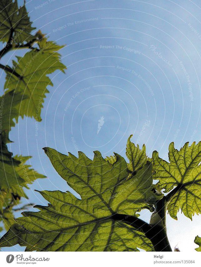 Weinblätter vor blauem Himmel aus der Froschperspektive Blatt Weinblatt Ranke Weinranken Stengel Gefäße Blattgrün Wolken weiß Frühling Sommer Mai Wachstum