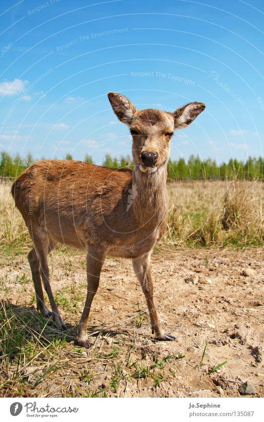 miezekatze III Sommer Natur Tier Wildtier wild Bambi Reh Steppe Ödland Säugetier sika-hirsch zutraulich Tierporträt Dürre trocken Gras Blauer Himmel Blick