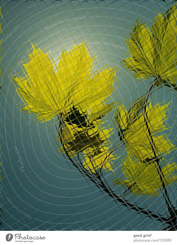 durch die scheibe Blatt Licht Frühling Sommer Ahorn Baum Reflexion & Spiegelung Herbst Angst Panik durchlicht hersbt Ast Zweig Fensterscheibe Glas