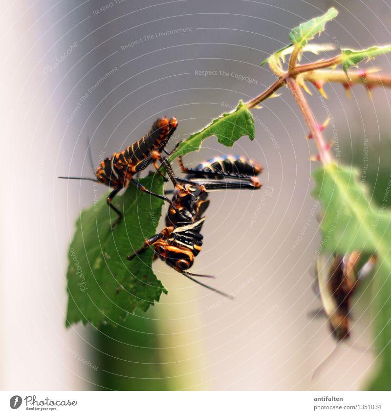 Die Heuschrecken Natur Pflanze grün Baum Blatt Tier schwarz Umwelt Essen natürlich Garten Beine Park orange Glas Tierpaar