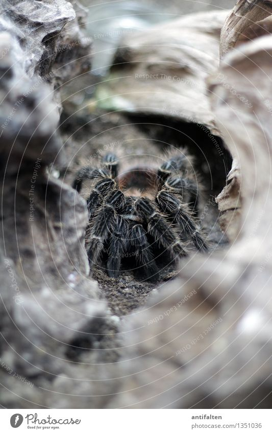 HORROR Natur Erde Felsen Berge u. Gebirge Tier Spinne Tiergesicht Fährte Zoo Aquarium Vogelspinne Spinnennetz Spinnenbeine Beine hocken krabbeln ästhetisch