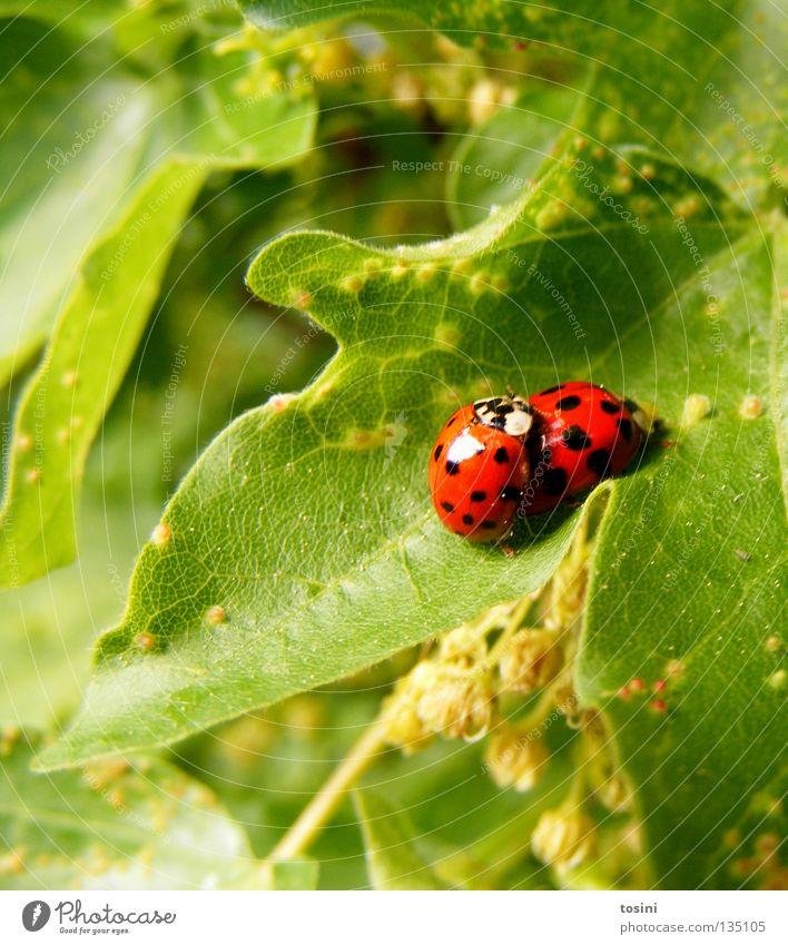 Marienkäferliebe [1/2] Natur grün rot Blatt Tier Frühling Freundschaft Zusammensein Tierpaar paarweise Punkt Partner Verliebtheit Fleck Käfer Marienkäfer