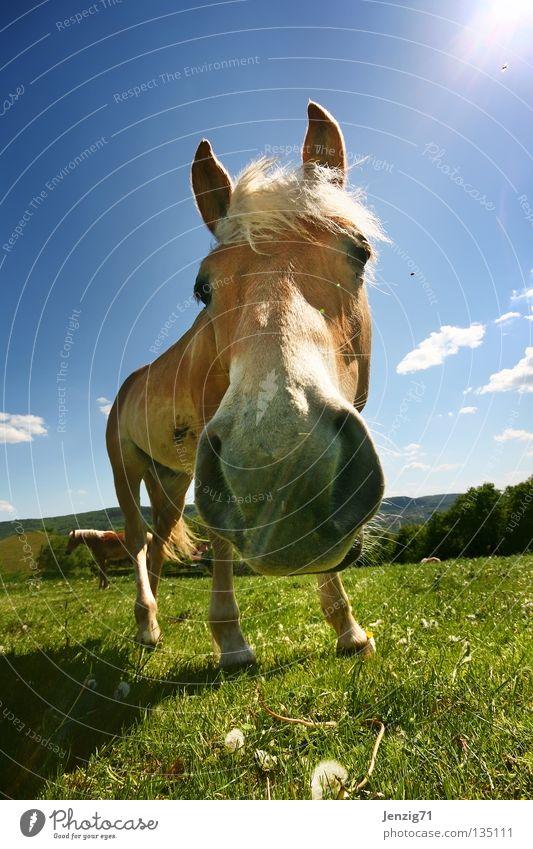 Na dran... Pferd Weitwinkel Weide Wiese Haflinger Gras Säugetier Pferdchen Himmel Blick Pferfekopf Auge in Auge Gesprächspartner Nase