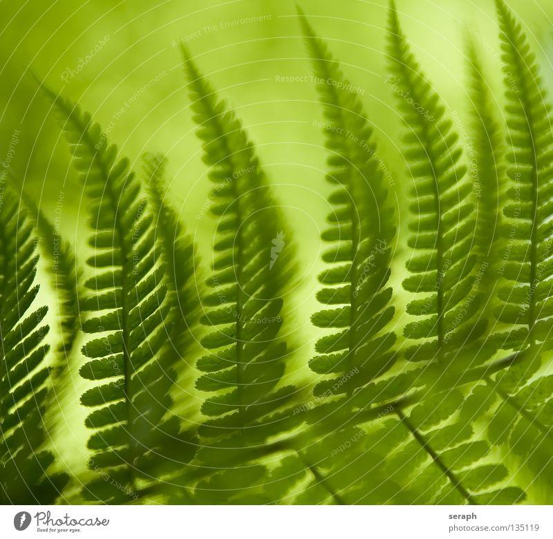 Fern Blur grün dunkel Blattadern Echte Farne Pflanze Umwelt filigran zart feucht weich gefiedert frisch Wachstum Umweltschutz Botanik Biologie Reifezeit