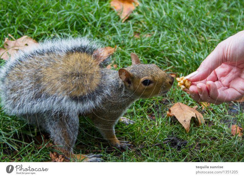 Essenszeit Hand Gras Nuss Walnuss Park Wiese Tier Wildtier Eichhörnchen 1 Fressen füttern Appetit & Hunger Außenaufnahme Tag