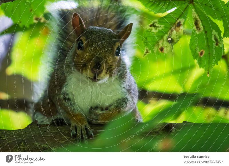 In Sicherheit Umwelt Natur Pflanze Tier Baum Ast Blatt Wald Wildtier Eichhörnchen 1 hocken Blick braun grün Wachsamkeit warten Farbfoto Außenaufnahme