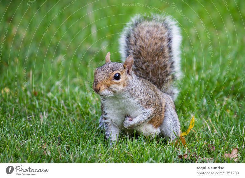 Wachsam Umwelt Natur Pflanze Tier Gras Garten Wiese Wildtier Eichhörnchen 1 hocken Blick kuschlig braun grau grün Wachsamkeit Farbfoto Außenaufnahme Tag
