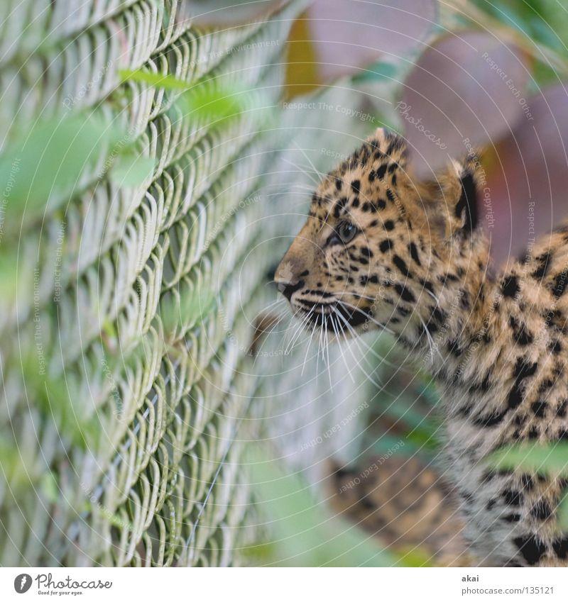 Der Jäger ruhig Tier Suche Fell Zoo Konzentration Jagd Zaun Wachsamkeit gefangen Säugetier exotisch zielen Jäger Leopard Nahrungssuche