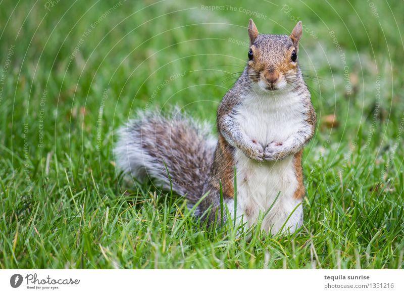 Das Merkelhörnchen Umwelt Natur Pflanze Tier Gras Wiese Wildtier Tiergesicht Fell Pfote Eichhörnchen 1 Blick stehen dick kuschlig braun grau grün Angela