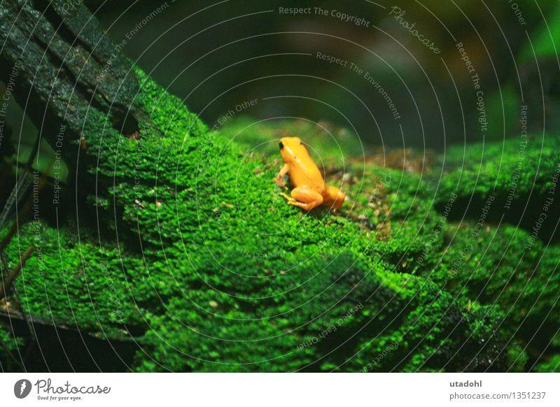 Golden poison frog II Umwelt Natur Landschaft Pflanze Tier Moos Urwald Wildtier Frosch 1 krabbeln schleimig gelb gold grün poisonous Gift Farbfoto mehrfarbig