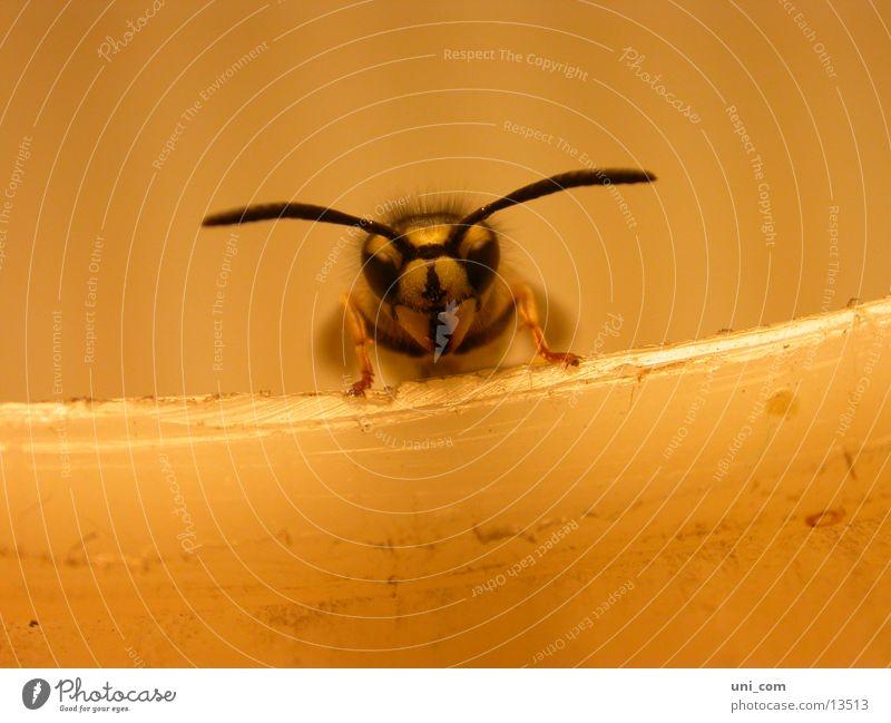 brummer Insekt Wespen Fühler Lampe fliegen Detailaufnahme