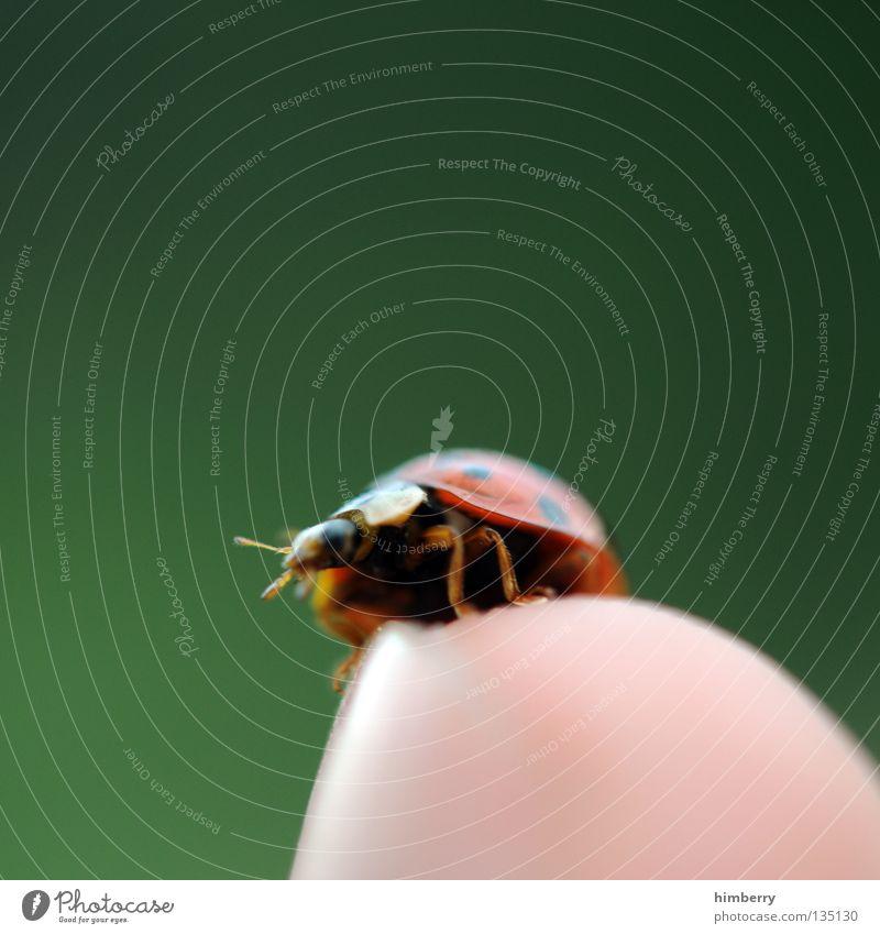 maraike fühlt sich unwohl Mai Marienkäfer Tier Schiffsbug Finger klein Natur grün Zoo Insekt gehen wegfahren Sommer Makroaufnahme Nahaufnahme Käfer animal
