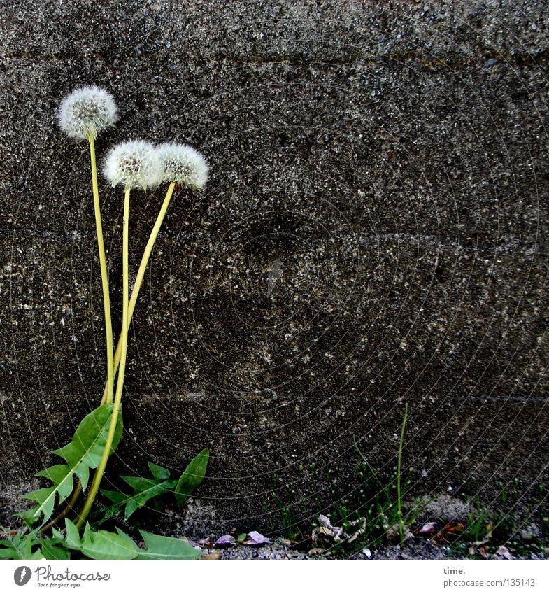 Kaninchenfutter (Vollwert-Meile) grün Pflanze dunkel Haare & Frisuren Mauer hell 3 Kindheitserinnerung Vergänglichkeit einzigartig zart Löwenzahn Putz leicht