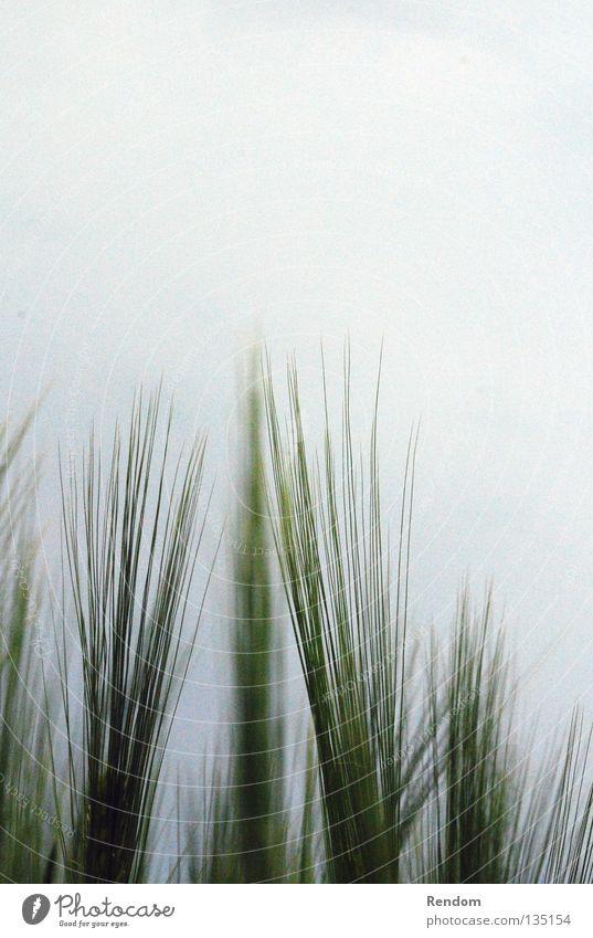 Grünes bei Grauem Natur grün Sommer Wolken grau träumen Feld Weizen Raps Verlauf schlechtes Wetter