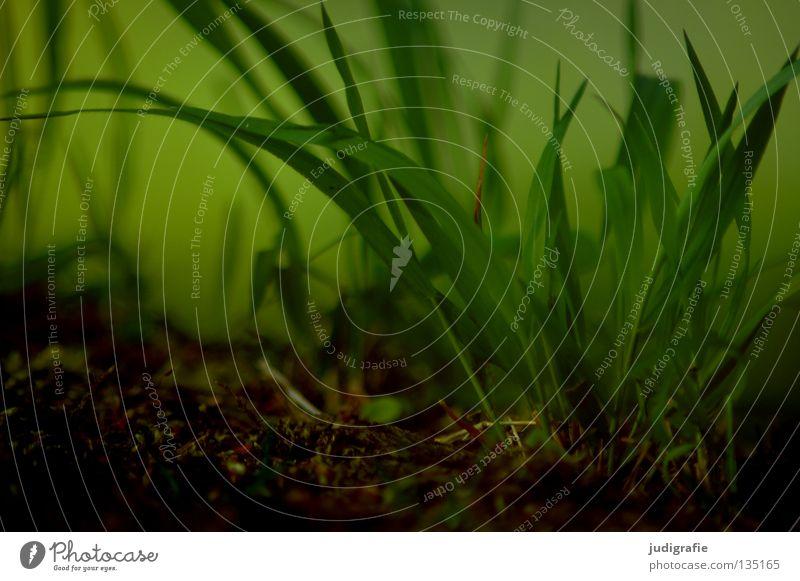 Gras Natur grün Pflanze Sommer Farbe Umwelt Wiese Gras Bodenbelag weich saftig fein