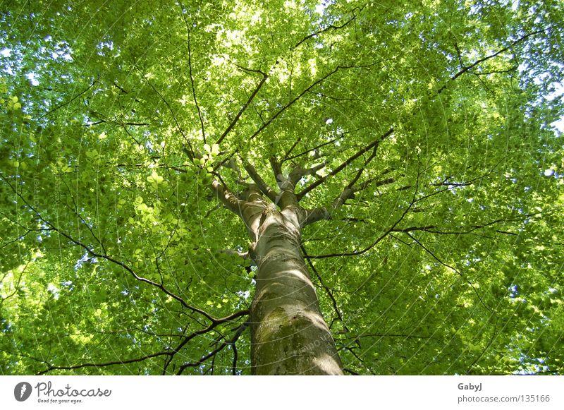 Das schönste Grün der Welt Natur Himmel Baum grün Blatt Wald Leben oben Frühling Holz planen Kraft Perspektive Schutz Klettern Ast