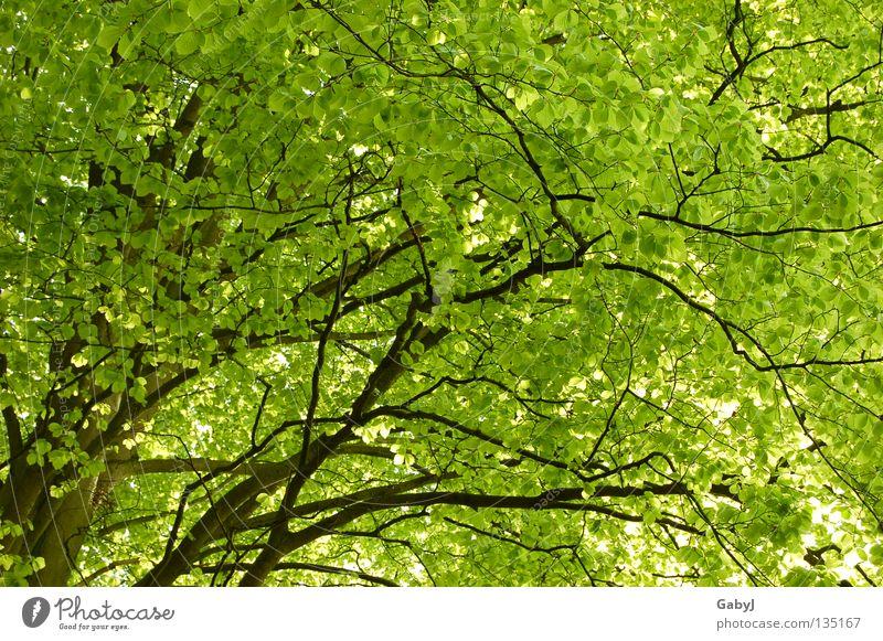 Das schönste Grün der Welt II Blätterdach grün Frühling Baum hellgrün zart planen Holz Wald Kohlendioxid Baumkrone Blatt schützend aufwachen Sonnenlicht Kraft