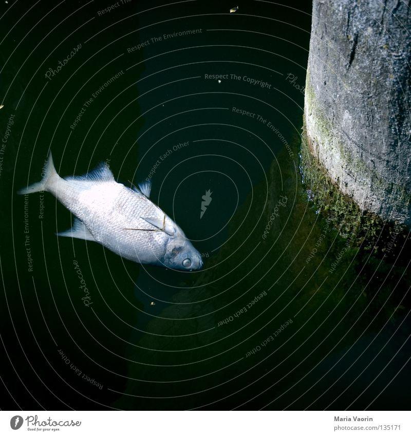Wasserleiche Im Wasser treiben Tod Gewässer See feucht nass Flüssigkeit verseucht vergiftet Umwelt Umweltverschmutzung dreckig Schadstoff Tier Kieme ökologisch