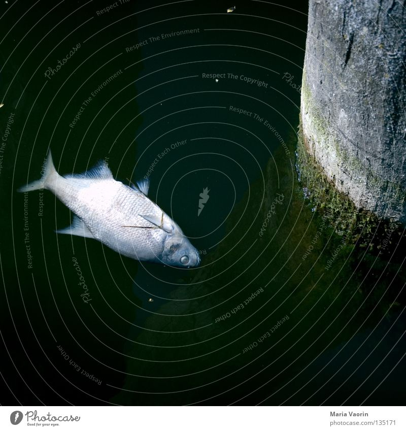 Wasserleiche Tier Tod See dreckig Umwelt nass Fisch gefährlich Flüssigkeit feucht ökologisch bleich Scheune Umweltverschmutzung