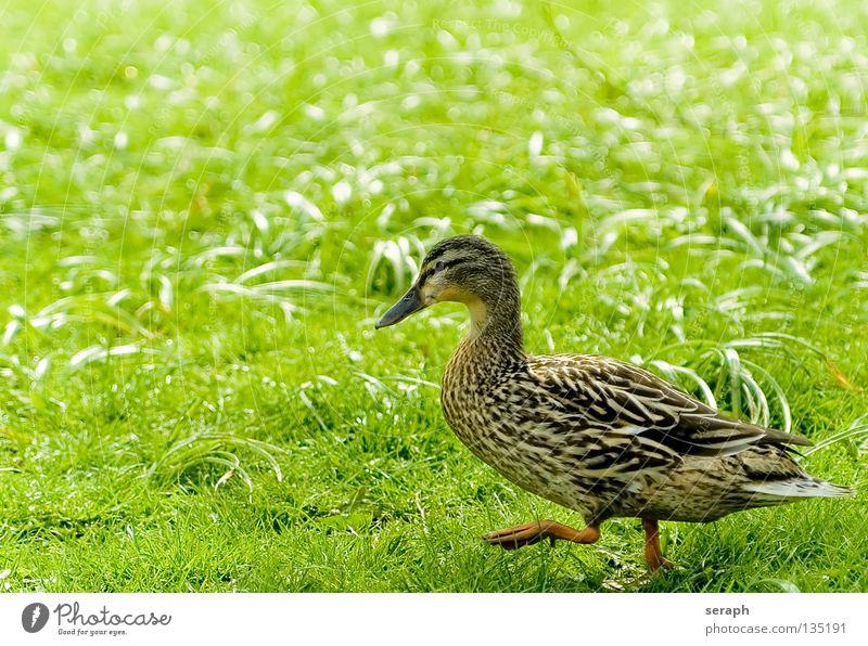 Lingering Entenvögel Erpel Vogel Quaken Schnabel Feder Wiese Gänseblümchen Blumenwiese Gans mehrfarbig Stockente Tier Färbung watscheln gehen Tierschutz