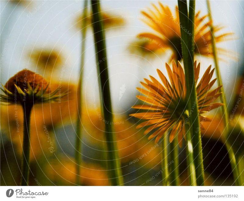 zur Sonne Blume gelb Sommer Physik Stengel Blüte Gegenlicht Wärme aufwärts
