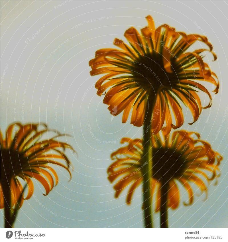 Die Drei Blume gelb dehydrieren trocken Blühend Sommer Physik heiß aufwärts Himmel verblüht Wärme