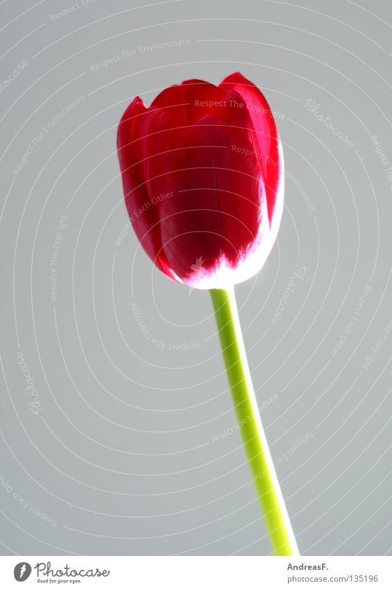 Tulpe Blume rot Freude Blüte Frühling Beleuchtung Stengel Blühend Stillleben Valentinstag Blütenblatt Blumenhändler Muttertag Blumenladen