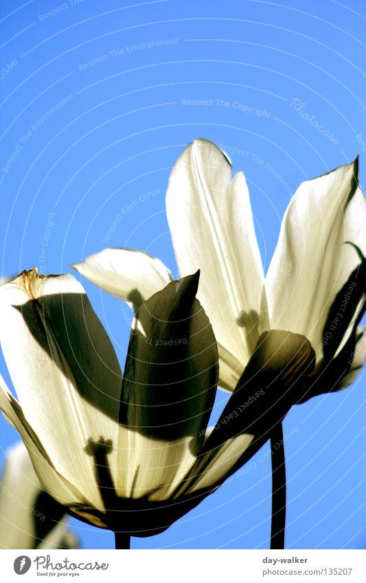Sonne tanken Blume Tulpe weiß Beet Beleuchtung Stengel Pflanze Himmel Stempel Natur Schatten Schönes Wetter