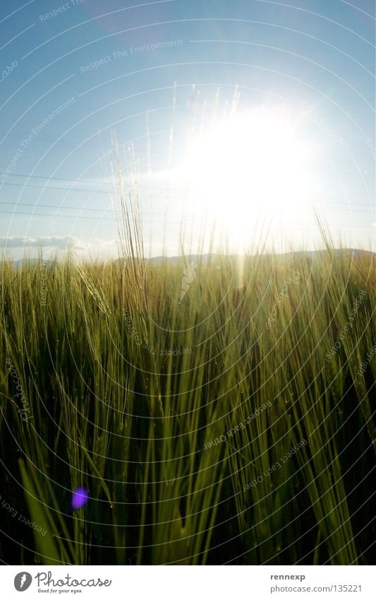 (K)ein Bett im ( )ornfeld Licht strahlend Physik Frühlingsgefühle Wiese Feld Ackerboden Lebensmittel Ernährung Gerste Roggen Ähren Weizen Landwirtschaft