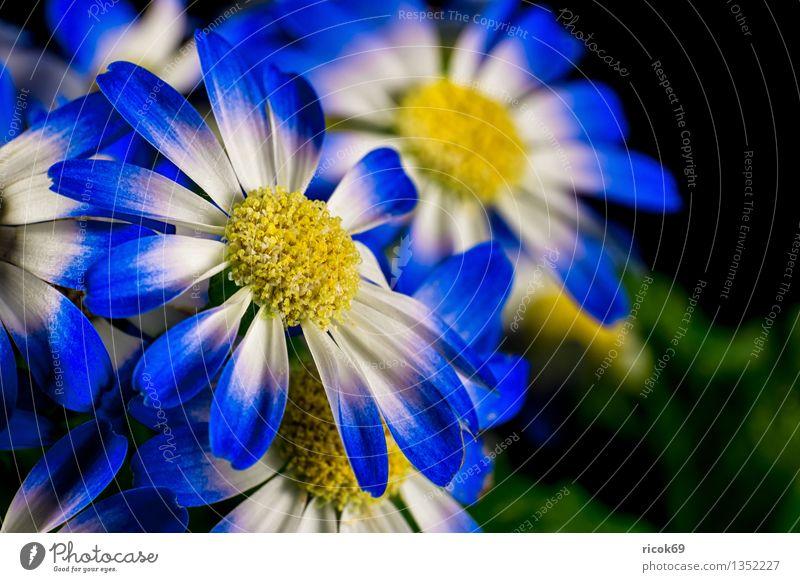 Blume Dekoration & Verzierung Pflanze Blüte blau gelb grün Natur Farbe Blütenblatt Zierpflanze Zimmerpflanze Farbfoto mehrfarbig