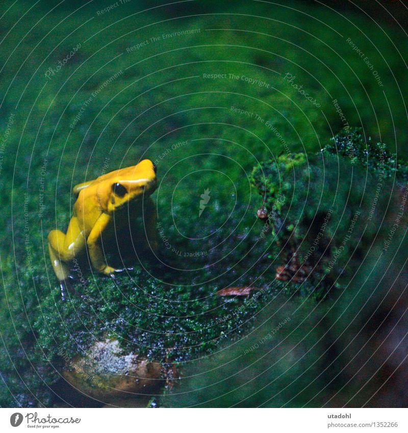 Golden poison frog Natur Landschaft Pflanze Tier Moos Wildtier Frosch 1 sitzen schleimig gelb gold grün Umwelt Urwald Frog poisonous Gift Farbfoto mehrfarbig